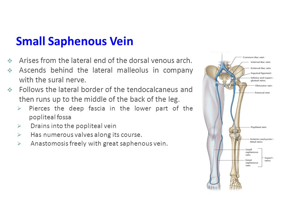 Small Saphenous Vein Arises from the lateral end of the dorsal venous arch. Ascends behind the lateral malleolus in company with the sural nerve.
