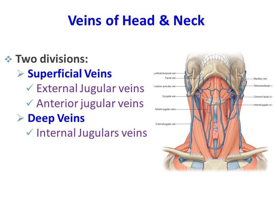 Veins of Head & Neck Two divisions: Superficial Veins