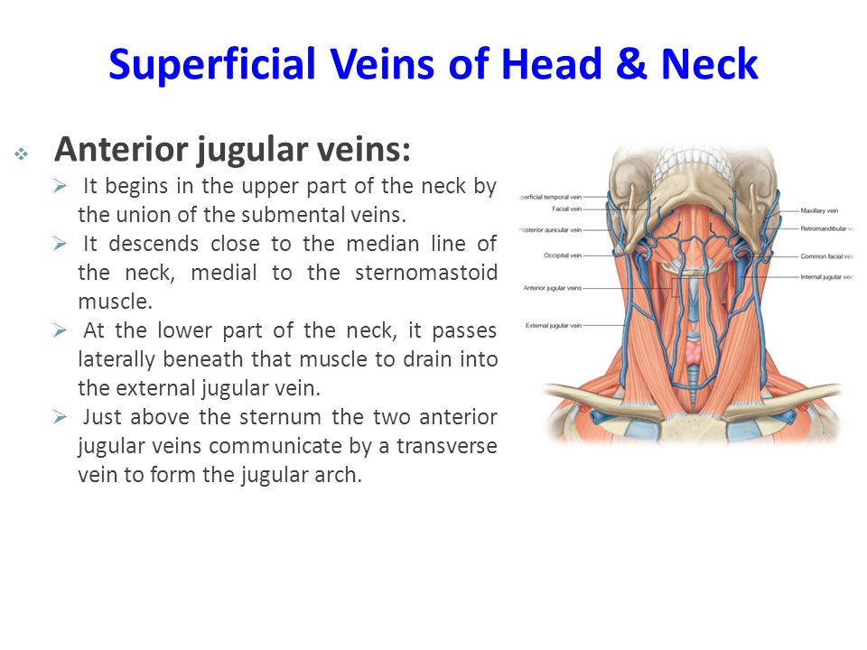 Superficial Veins of Head & Neck