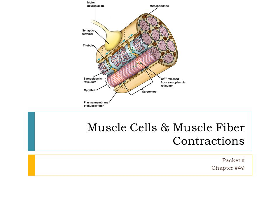 muscle cells & muscle fiber contractions - ppt video online download, Human Body
