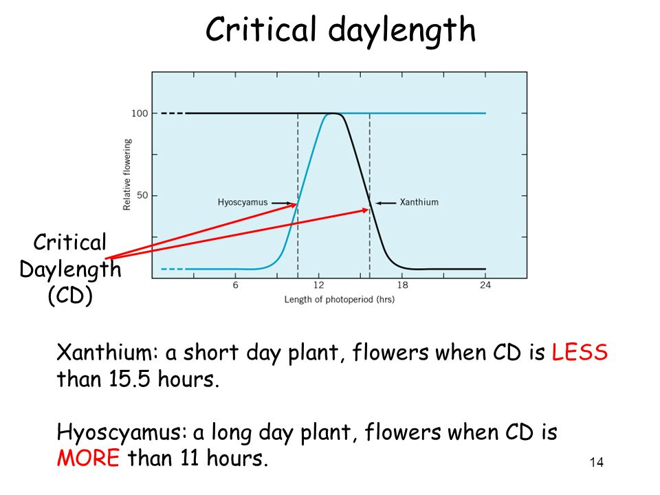 Critical daylength Critical Daylength (CD)