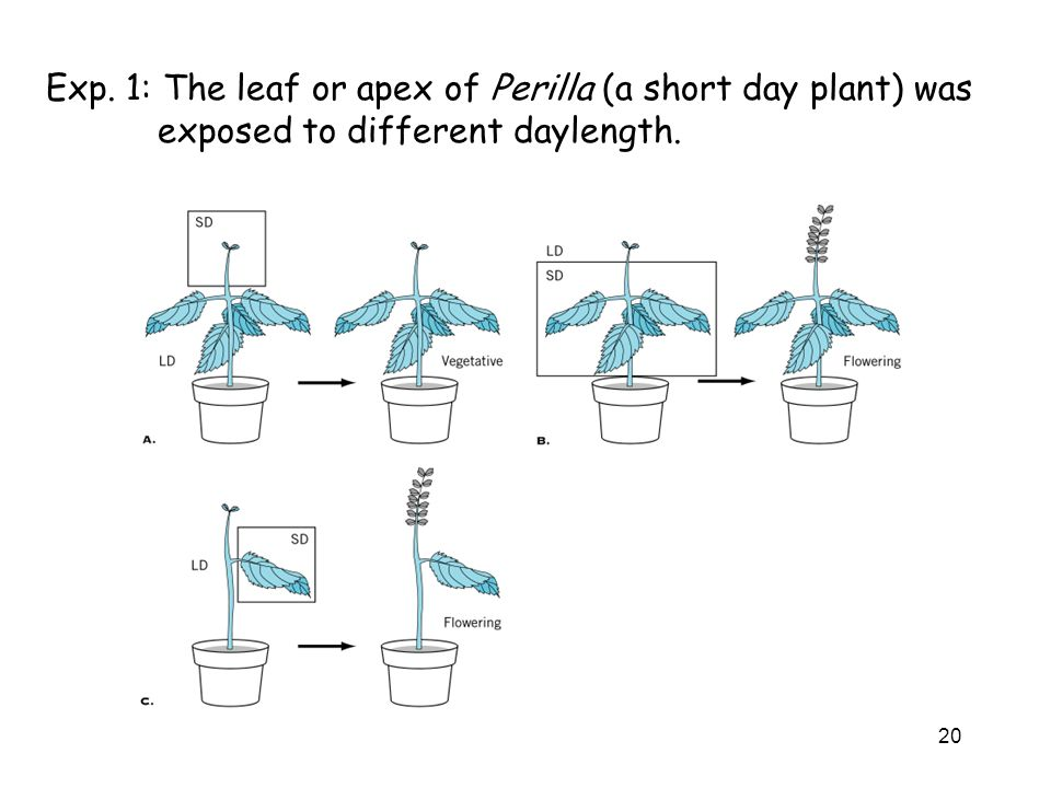 Exp. 1: The leaf or apex of Perilla (a short day plant) was exposed to different daylength.