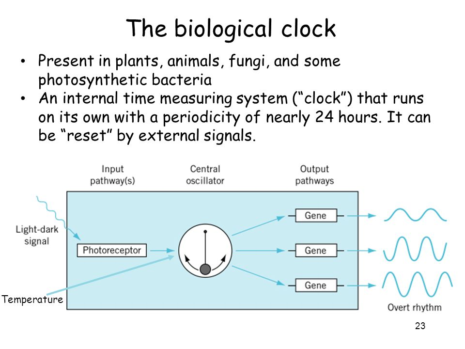 The biological clock Present in plants, animals, fungi, and some photosynthetic bacteria.