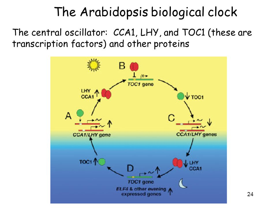 The Arabidopsis biological clock