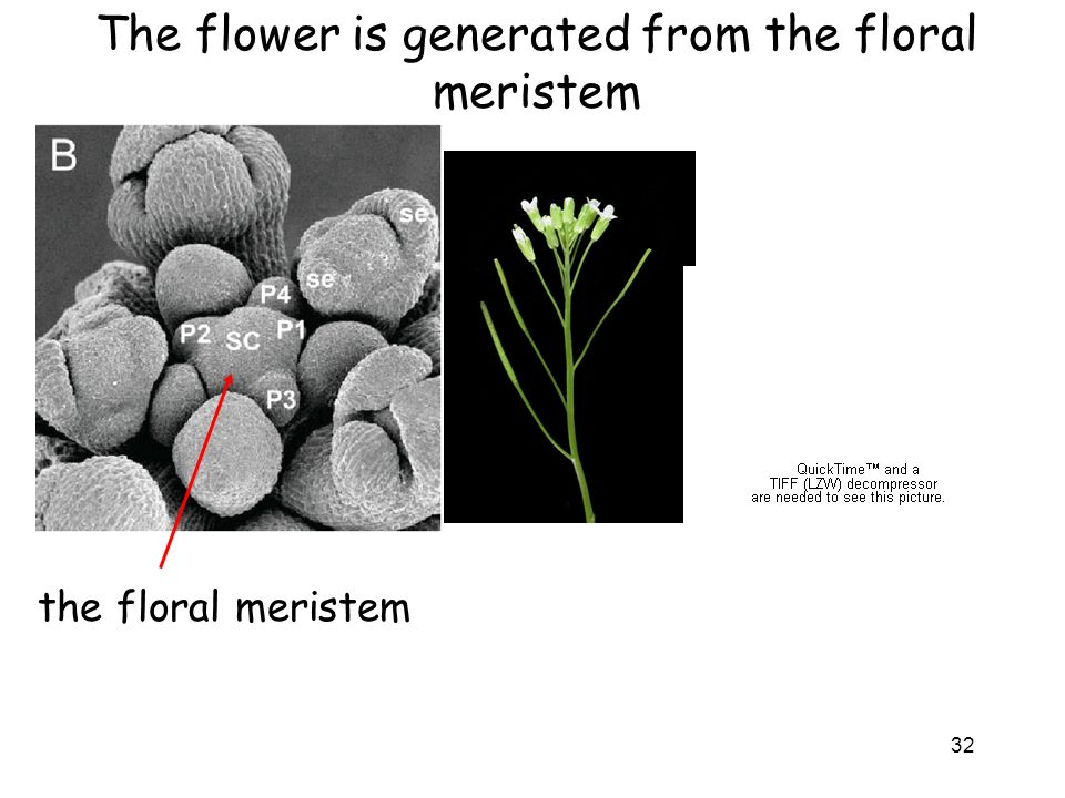 The flower is generated from the floral meristem