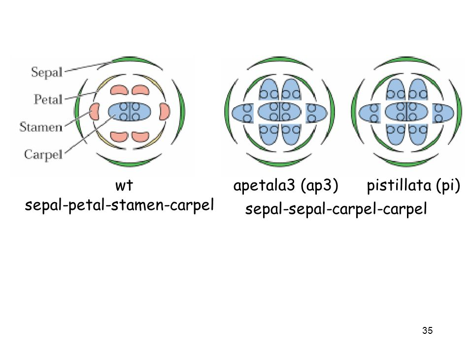 Aptala3 and Pistillata = see sepal, sepal, carpel, carpel (lose petal and stamen; 2nd and 3rd whorl are lost)