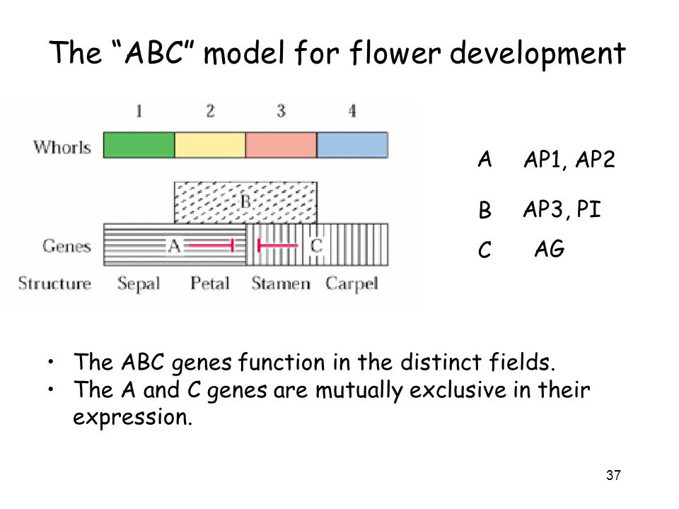 The ABC model for flower development