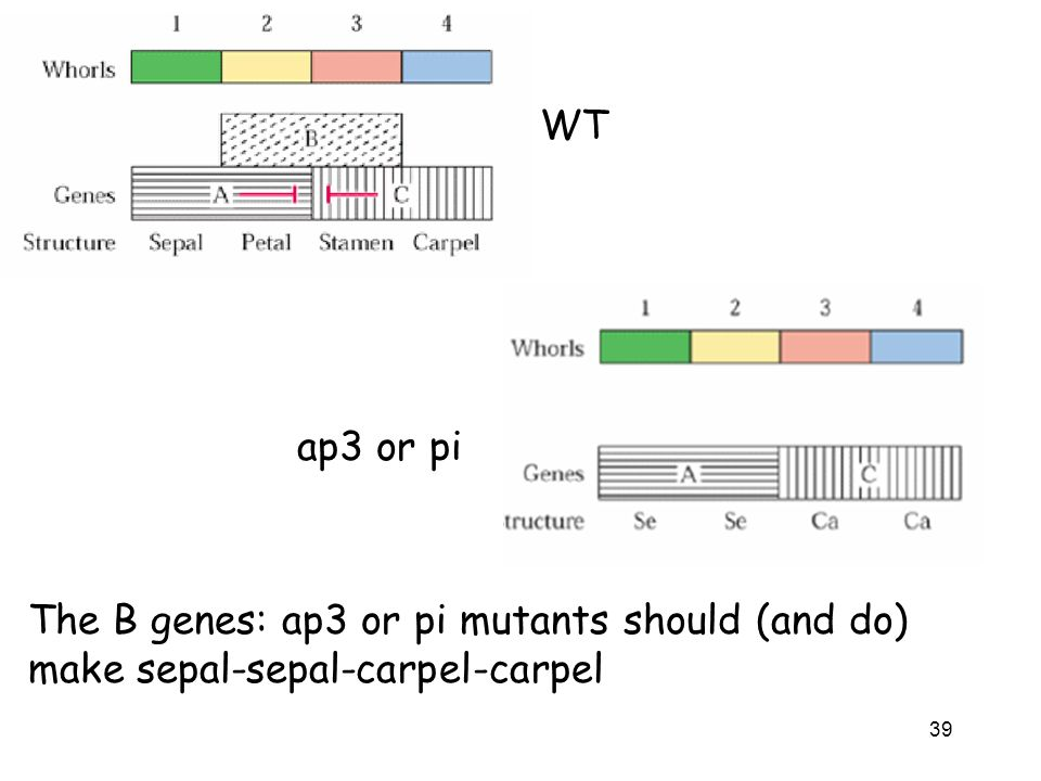 WT Ap3 and pi are B genes, if lost them, lost combination of AB and BC, so lose petal and stamen and have sepal-sepal-carpel-carpel.
