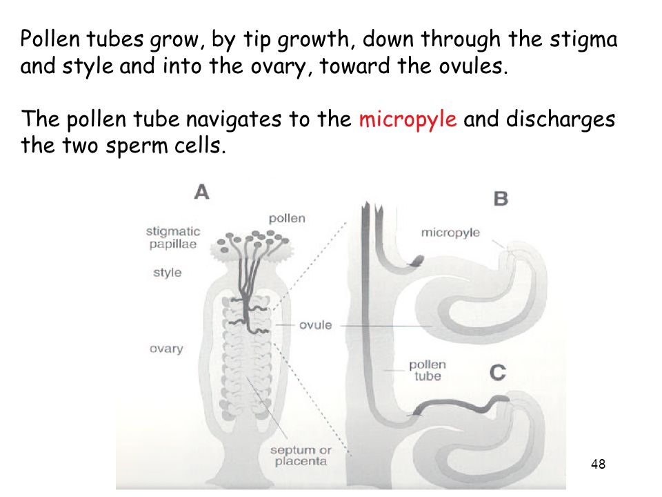 Pollen tubes grow, by tip growth, down through the stigma and style and into the ovary, toward the ovules.