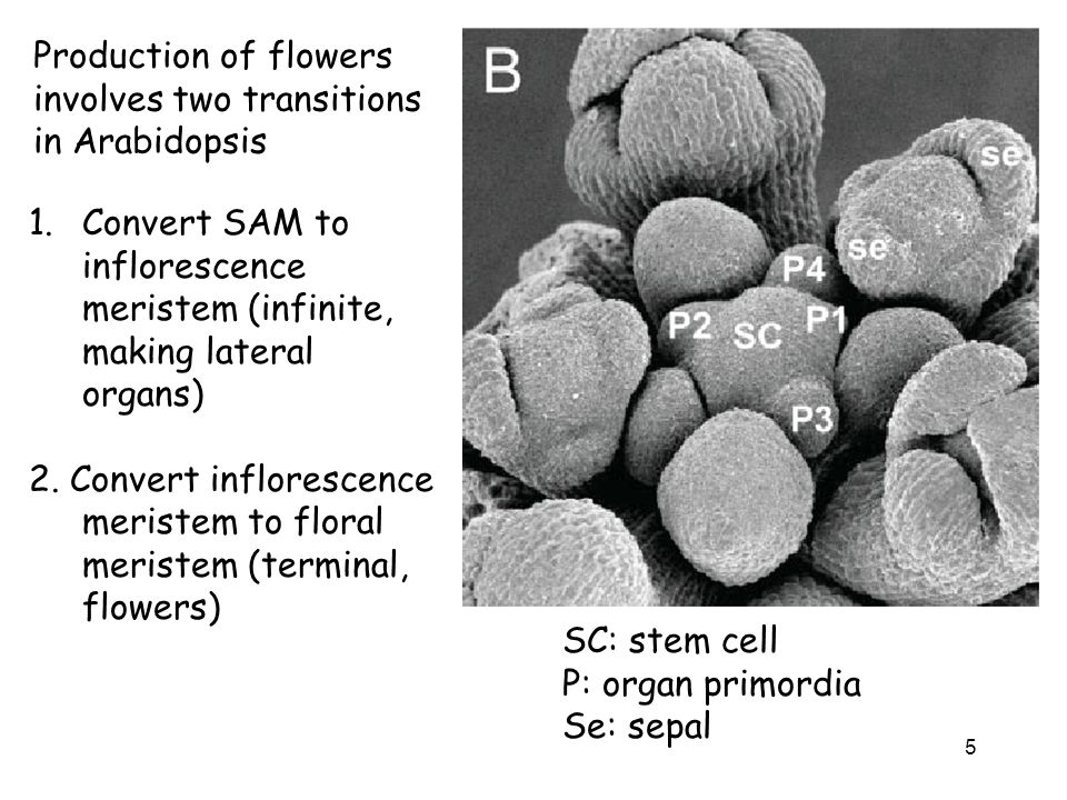 Production of flowers involves two transitions in Arabidopsis