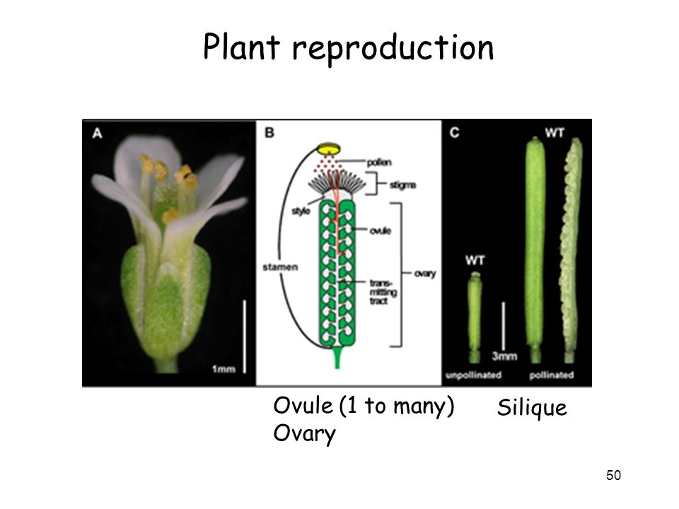 Plant reproduction Ovule (1 to many) Ovary Silique
