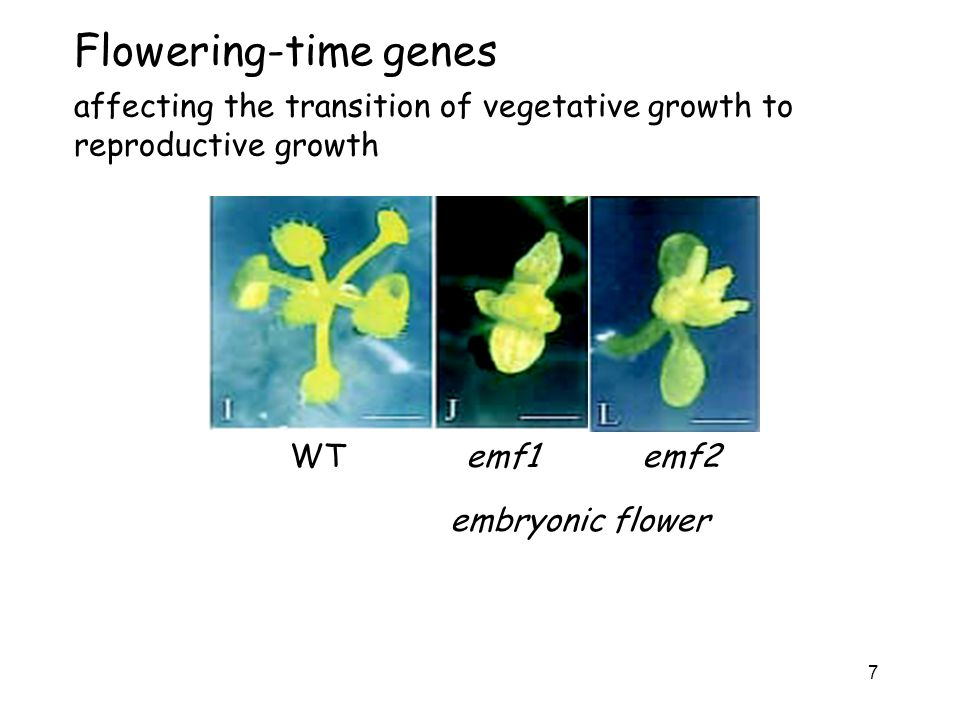 Flowering-time genes affecting the transition of vegetative growth to reproductive growth.