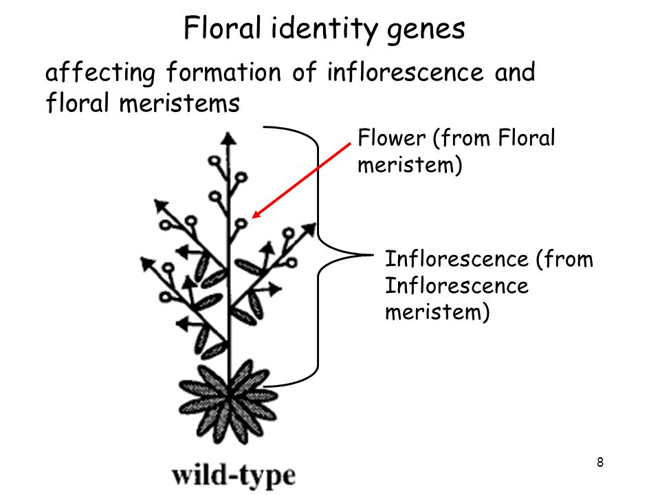Floral identity genes affecting formation of inflorescence and floral meristems. Flower (from Floral meristem)
