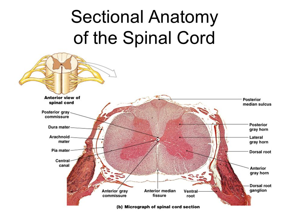 Luxury Cross Sectional Anatomy Of Spinal Cord Image Collection ...