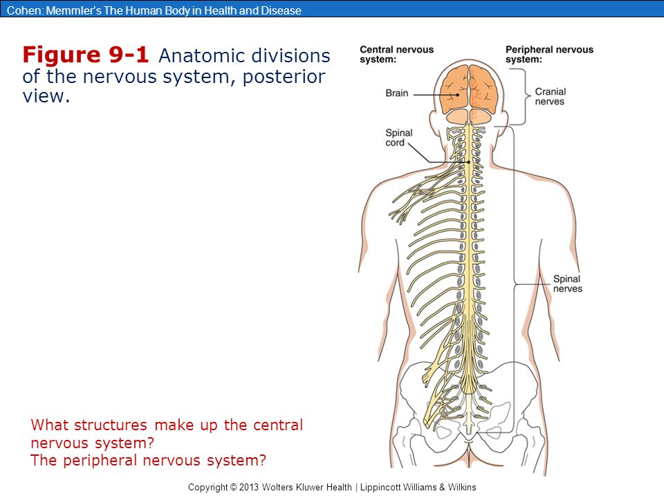 the nervous system ii anatomy review