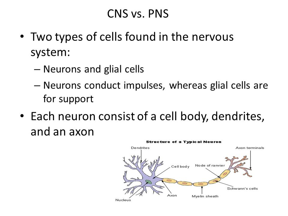 Two types of cells found in the nervous system: