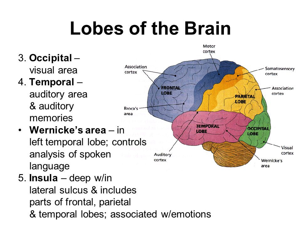 4 lobes of the brain Learning about the different parts of the brain in your  home / psychology / the forebrain: telencephalon & diencephalon  there are 4 lobes in the cerebral.