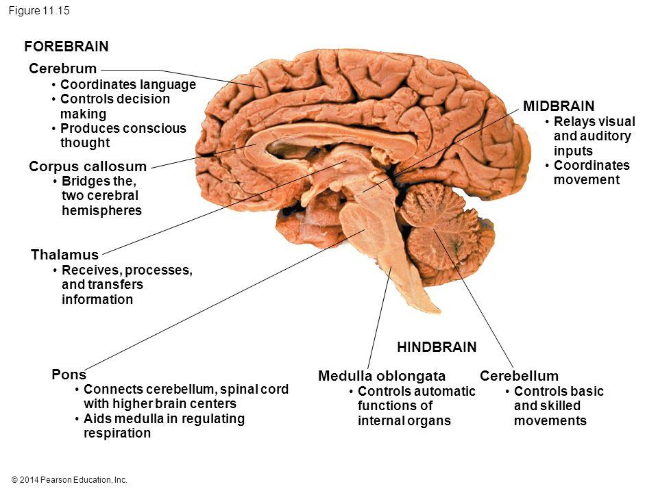 Brain Corpus Callosum Function Mens Brains Vs Womens Brains
