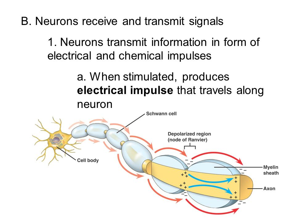 B. Neurons receive and transmit signals