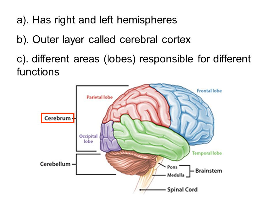 a). Has right and left hemispheres