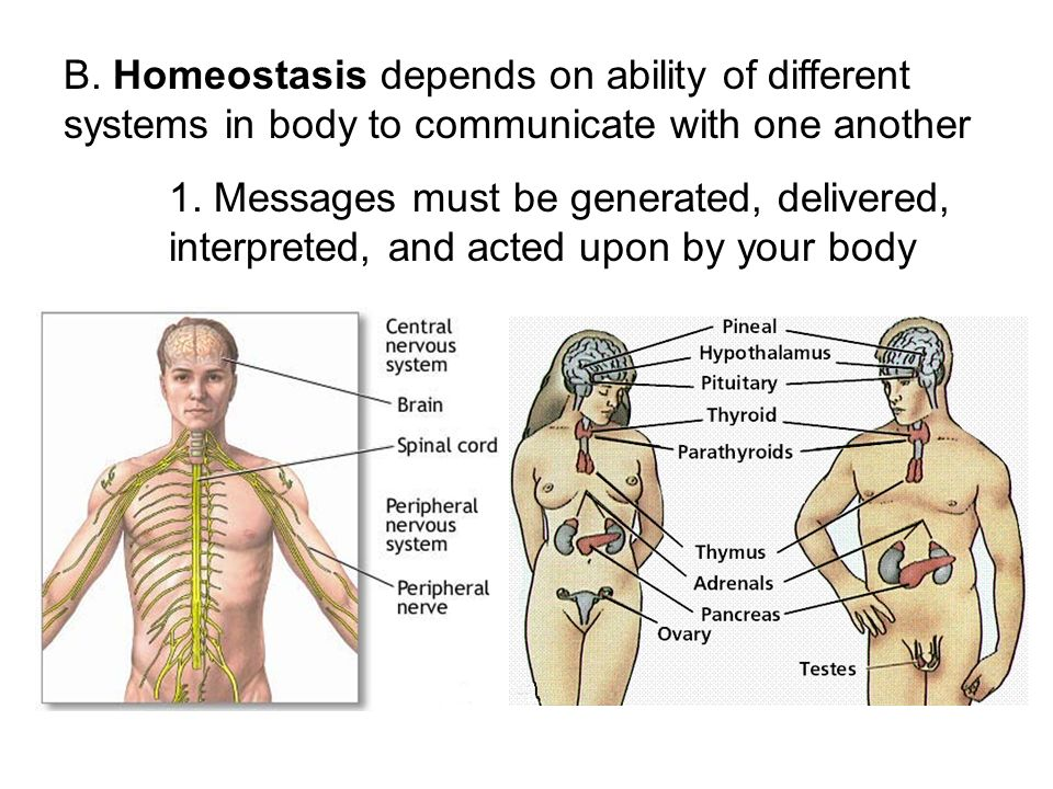 B. Homeostasis depends on ability of different systems in body to communicate with one another