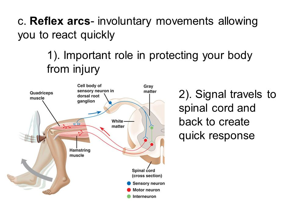 c. Reflex arcs- involuntary movements allowing you to react quickly