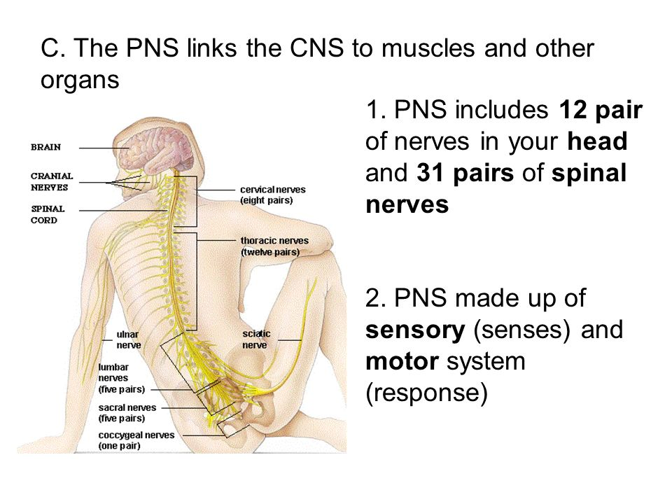 C. The PNS links the CNS to muscles and other organs