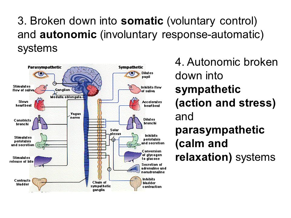 3. Broken down into somatic (voluntary control) and autonomic (involuntary response-automatic) systems