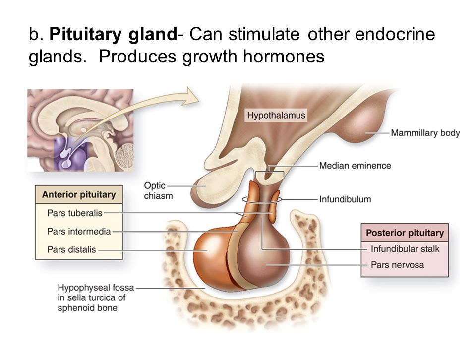 b. Pituitary gland- Can stimulate other endocrine glands