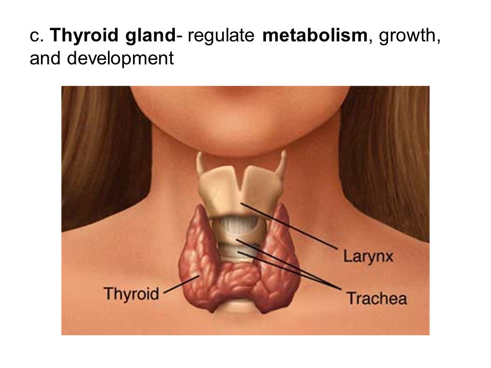 c. Thyroid gland- regulate metabolism, growth, and development