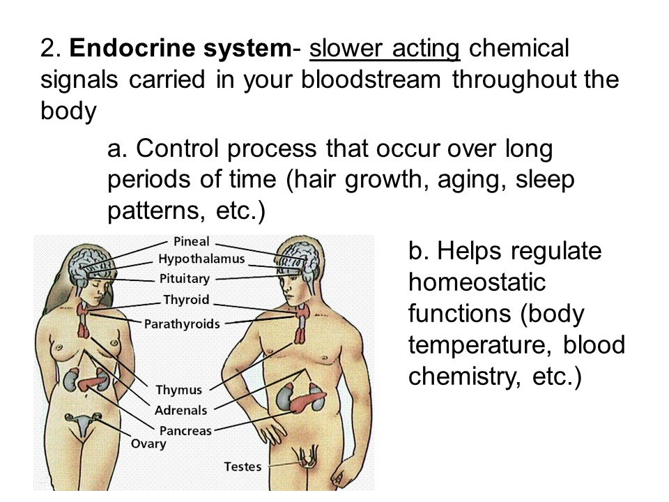 2. Endocrine system- slower acting chemical signals carried in your bloodstream throughout the body