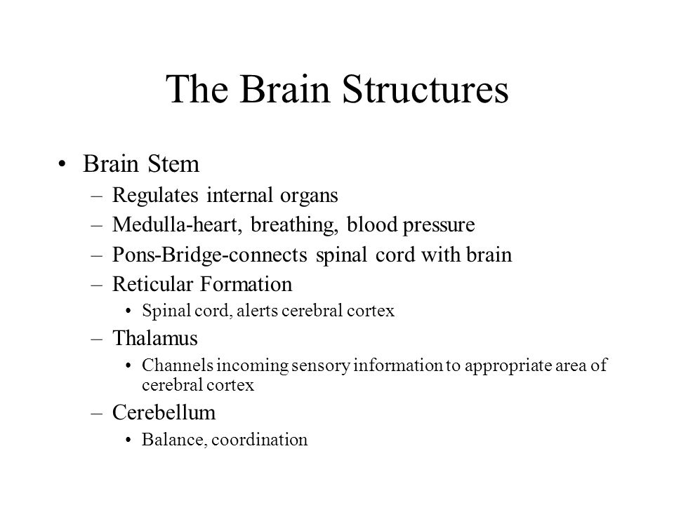 The Brain Structures Brain Stem Regulates internal organs