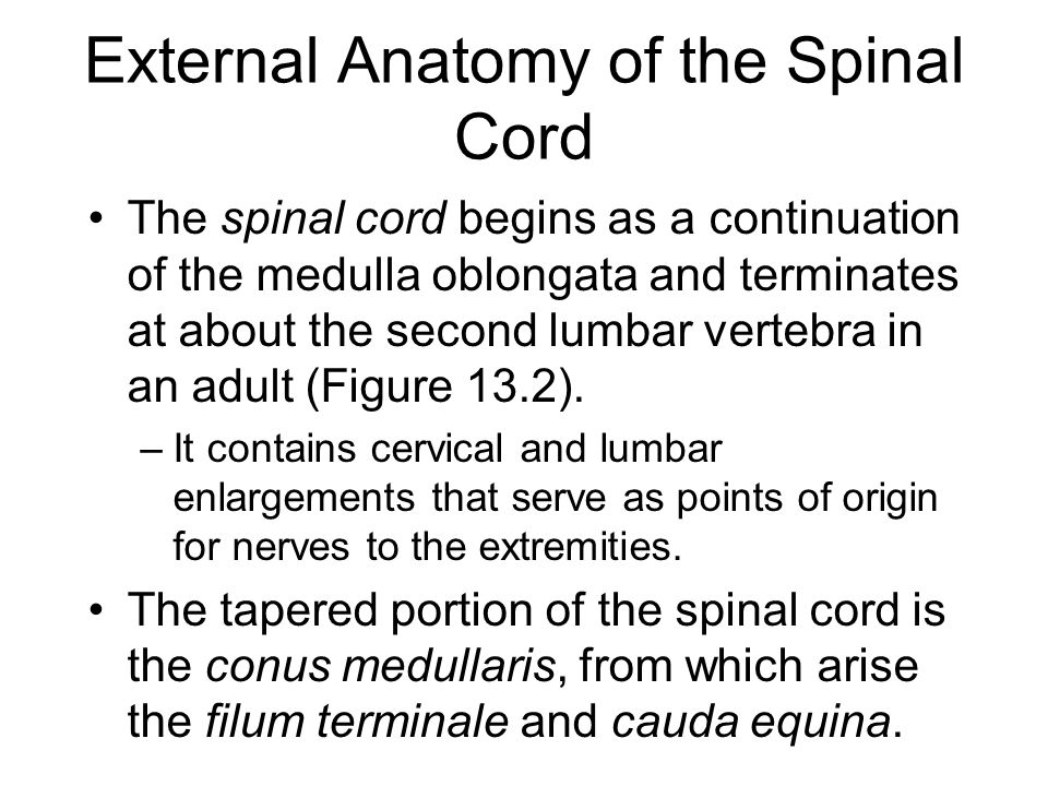 External anatomy of spinal cord