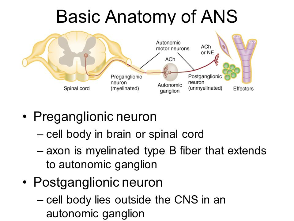 Motor neuron cell body locationopinions on perikaryon annotated motor neuron cell body location impremedia net ccuart Image collections