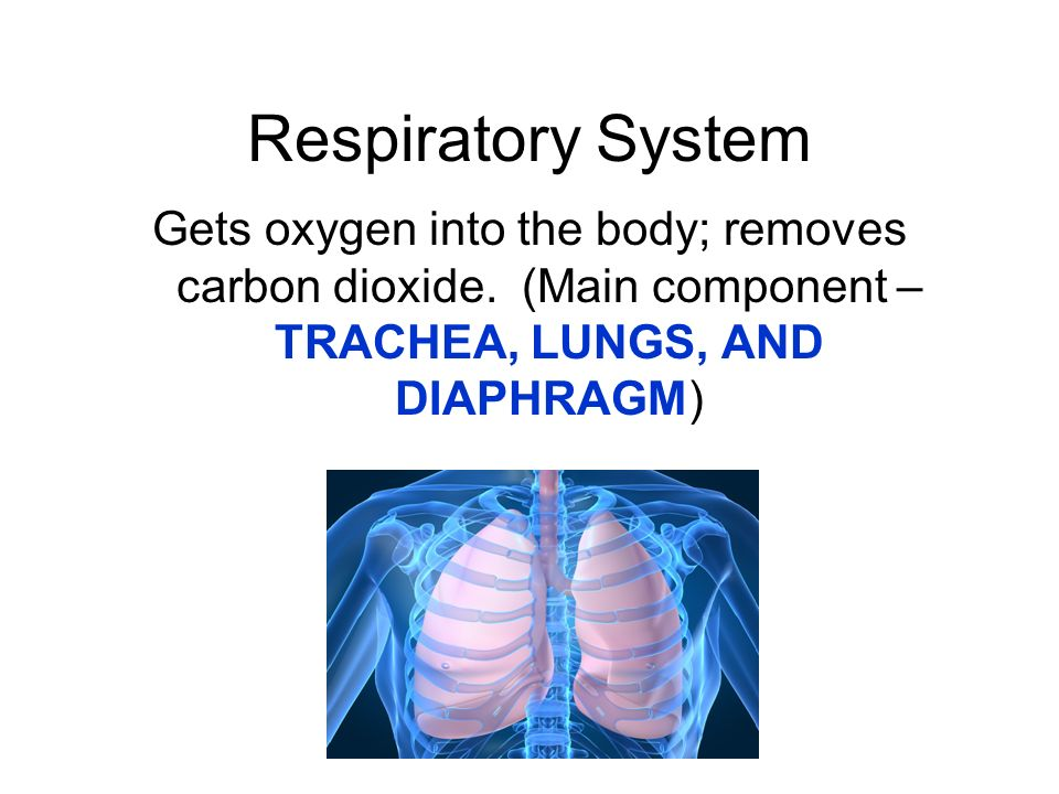 Respiratory System Gets oxygen into the body; removes carbon dioxide.