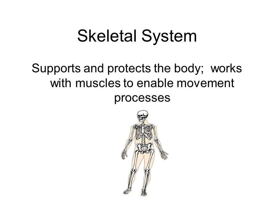 Skeletal System Supports and protects the body; works with muscles to enable movement processes