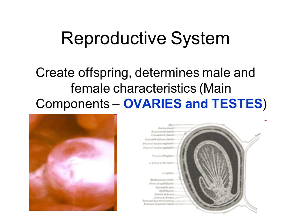 Reproductive System Create offspring, determines male and female characteristics (Main Components – OVARIES and TESTES)