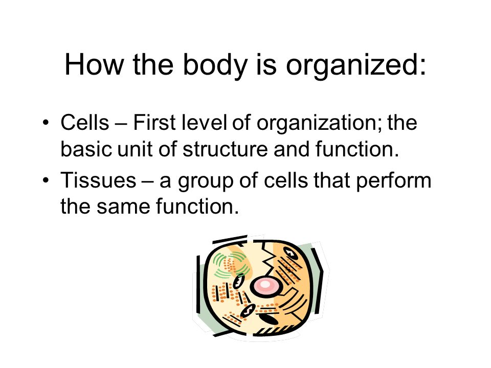 How the body is organized: