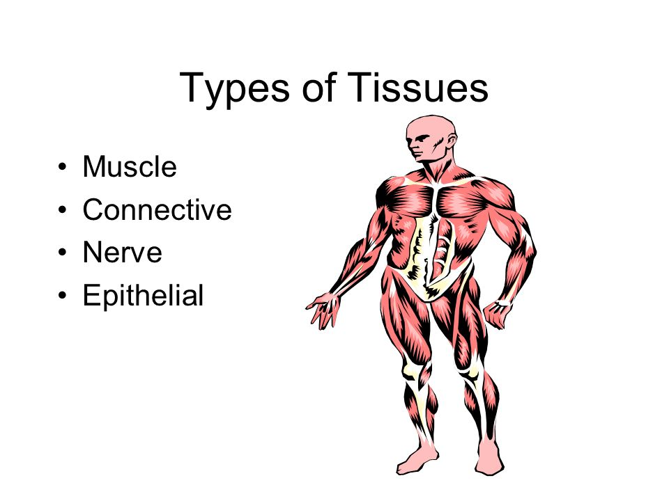 Types of Tissues Muscle Connective Nerve Epithelial
