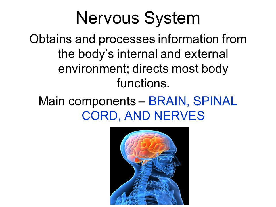 Main components – BRAIN, SPINAL CORD, AND NERVES