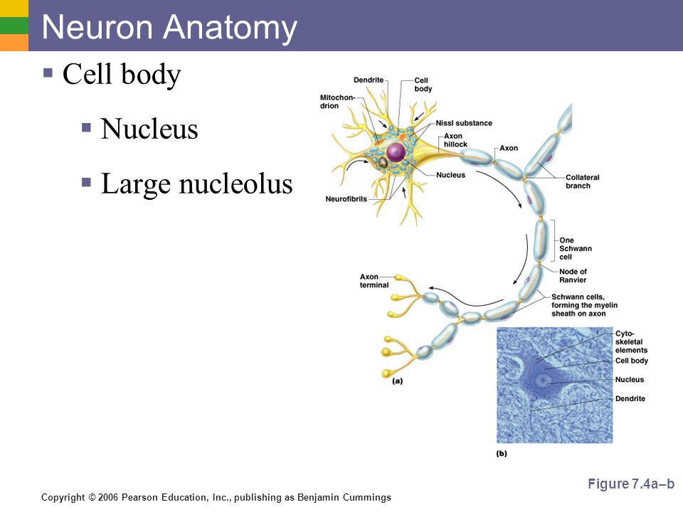Neuron Anatomy Cell body Nucleus Large nucleolus Figure 7.4a–b