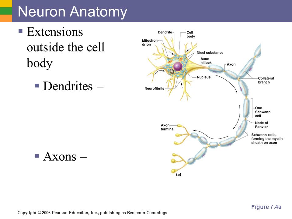 Neuron Anatomy Extensions outside the cell body Dendrites – Axons –