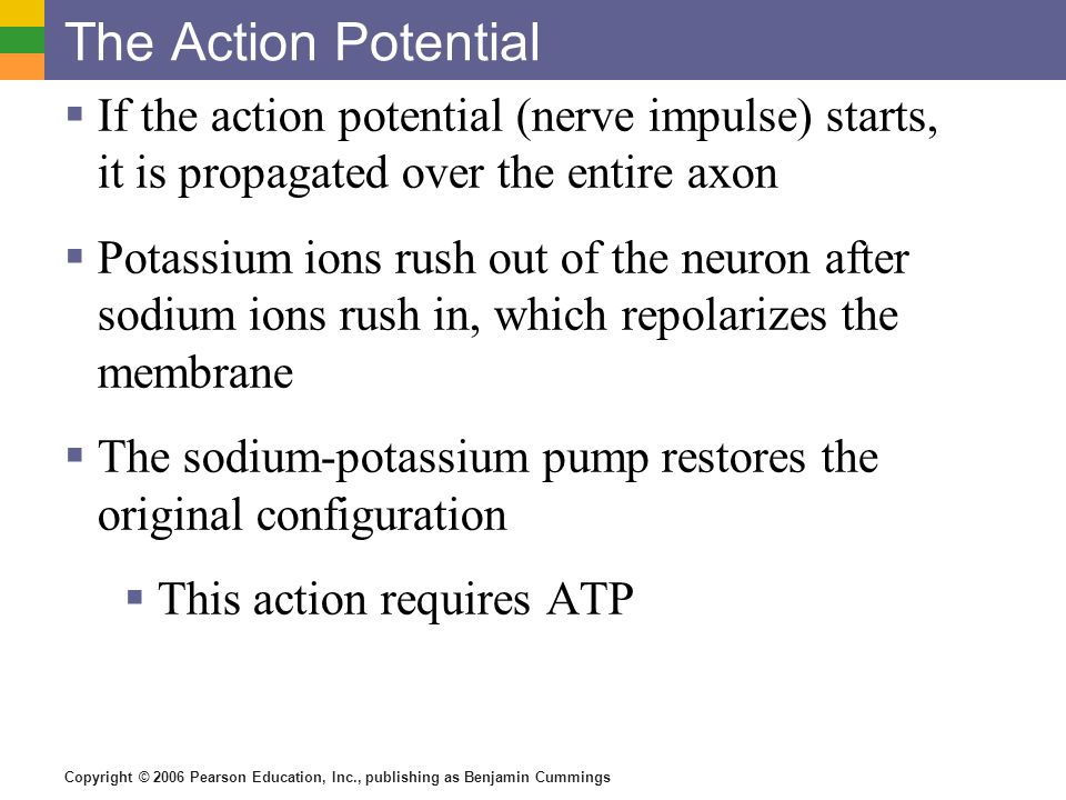 The Action Potential If the action potential (nerve impulse) starts, it is propagated over the entire axon.