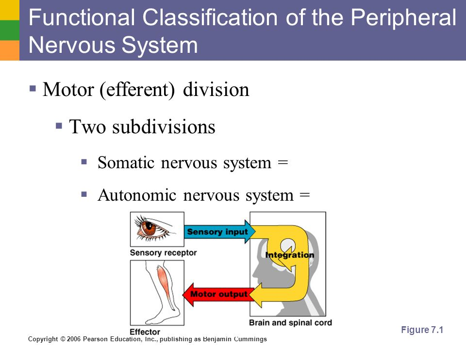 Functional Classification of the Peripheral Nervous System