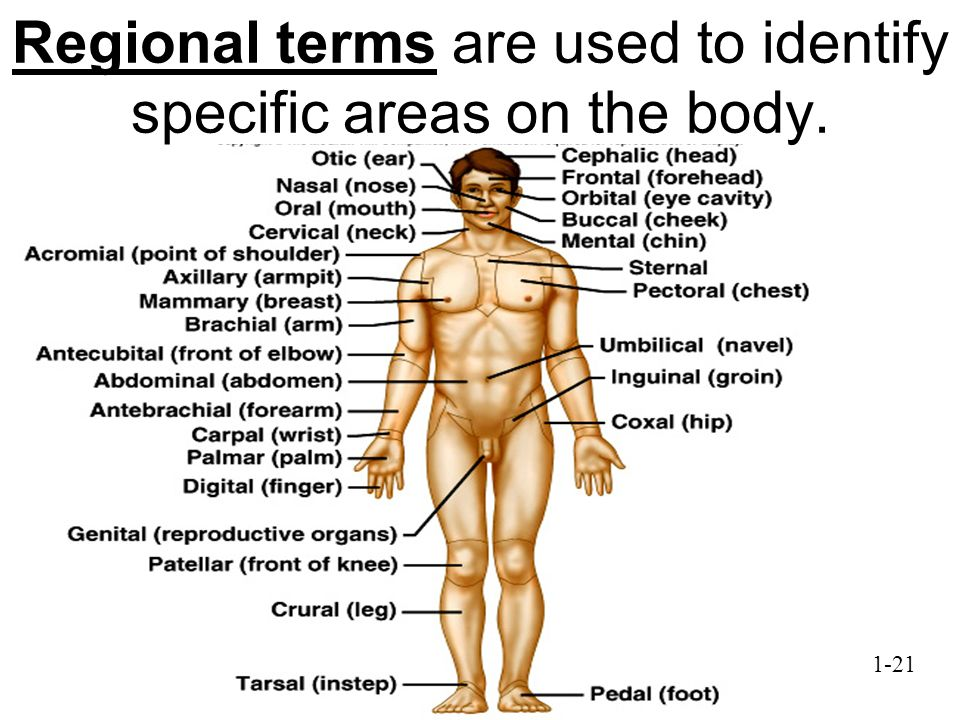 Regional terms are used to identify specific areas on the body.