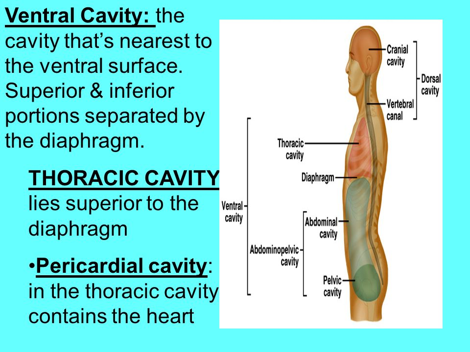 Ventral Cavity: the cavity that's nearest to the ventral surface