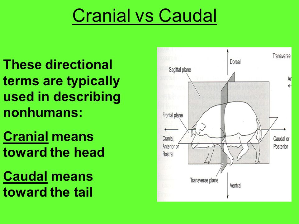 Cranial vs Caudal These directional terms are typically used in describing nonhumans: Cranial means toward the head.