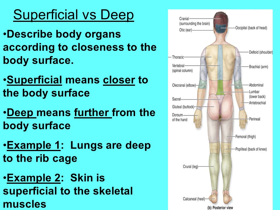 Superficial vs Deep Describe body organs according to closeness to the body surface. Superficial means closer to the body surface.