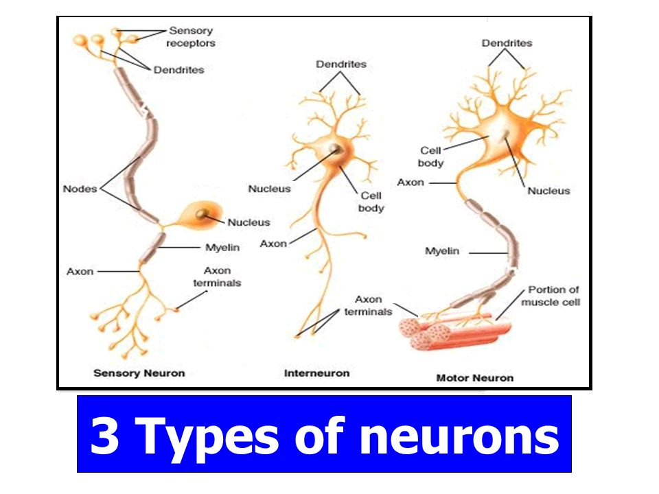 Homeostasis and the nervous system ppt video online download 20 3 types of neurons ccuart Images