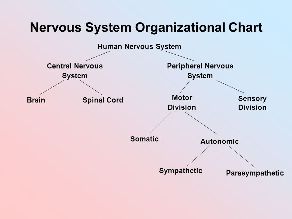 Peripheral Nervous System Chart Mersnoforum